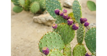 Mayor duración de la batería en coches eléctricos gracias a los cactus